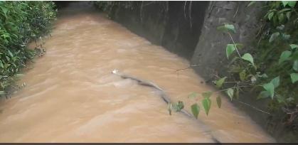 Mải mê giao chiến giành bạn tình, 2 con hổ mang chúa đực bị dòng nước cuốn trôi